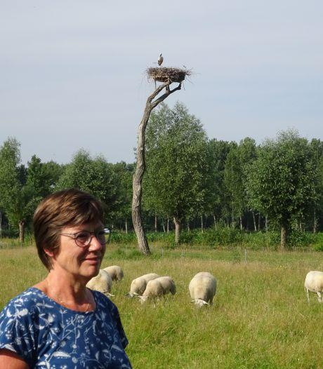 Wilma Meijs bouwt eerste bewoonde ooievaarsnest ooit in Olland