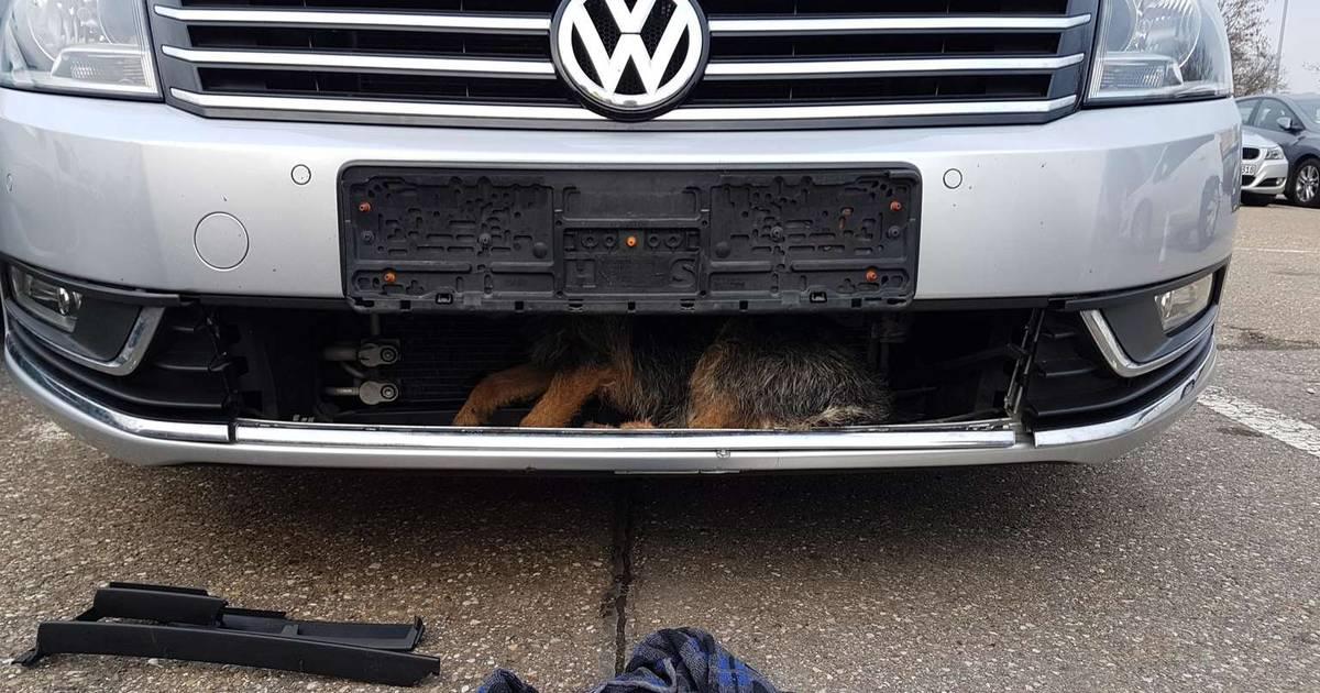 Aangereden hond overleeft horrorrit achter grille van auto.