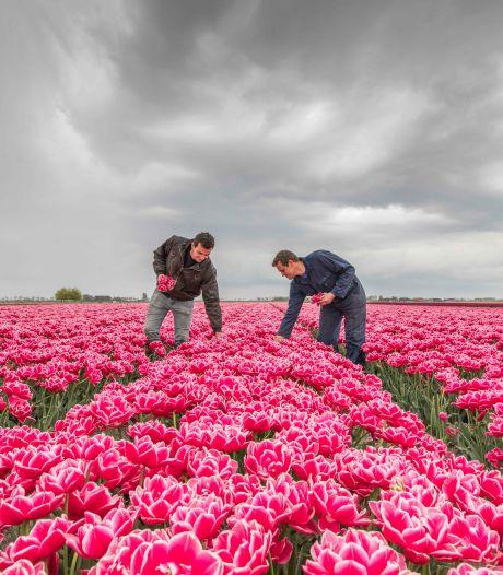 Thoolse bloemenpracht duurde extra lang, maar is nu echt voorbij