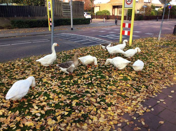 De overlast veroorzaakt door een aantal ganzen in 's-Gravendeel is veel inwoners een doorn in het oog. Maar ook elders in de regio zorgen de dieren voor veel overlast.