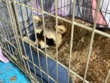 Vughtse wasbeer toch niet afgeschoten door jager, beest gevangen door medewerkers dierenambulance