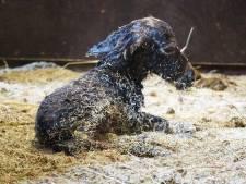 Schattig! Mini-ezeltje Bonnie geboren in DierenPark Amersfoort