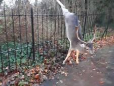 Gespietst hert noodgedwongen afgeschoten in Santpoort-Noord
