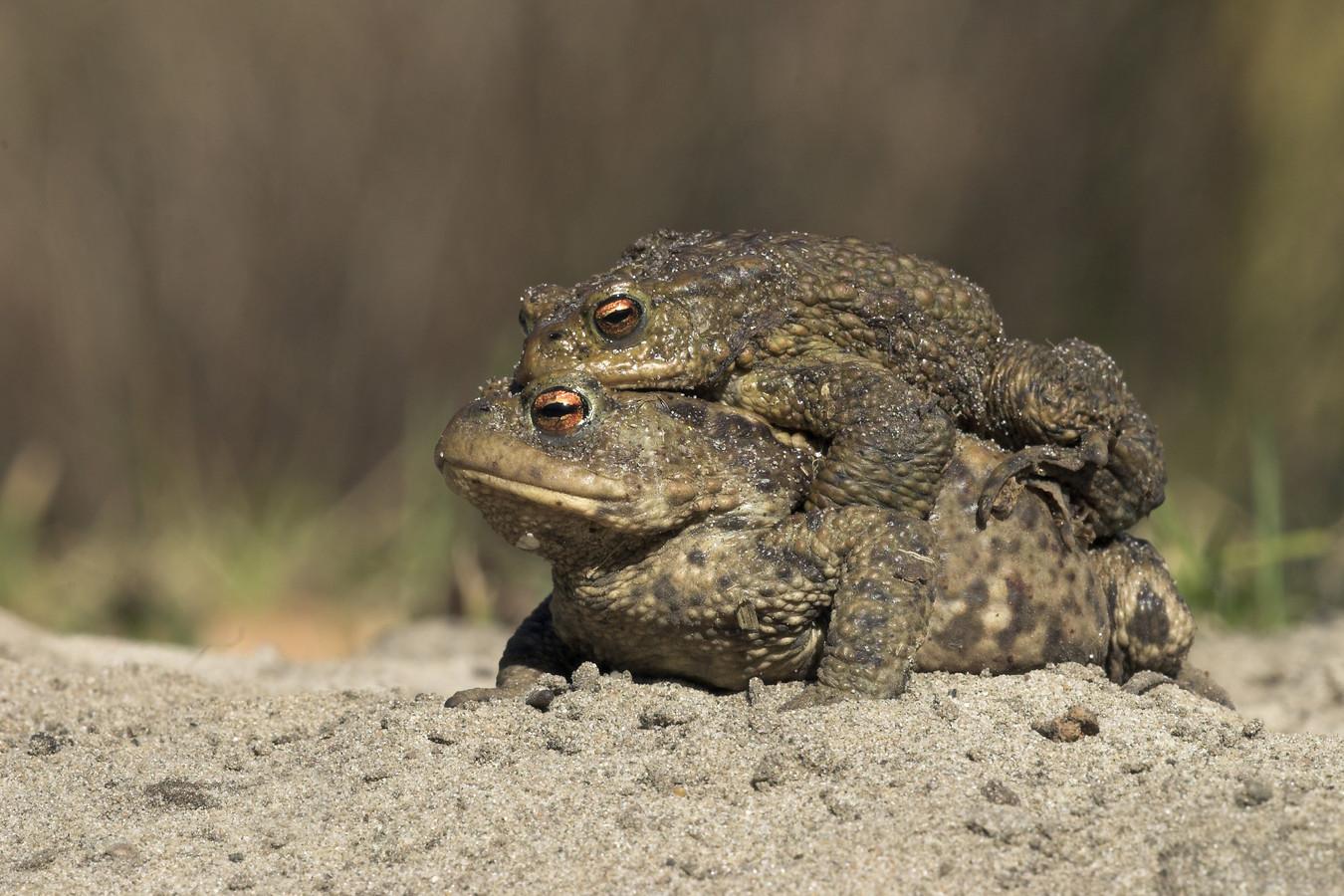 Een dubbeldekker: het kleine mannetje grijpt zijn kans en klimt alvast op het grotere vrouwtje. Maar dit maakt ze wel extra traag en kwetsbaar.