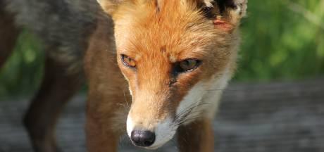 Rustige lockdown lokt vos naar de Ginnekenmarkt