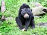 Onvruchtbare beer vertrekt uit Burgers' Zoo