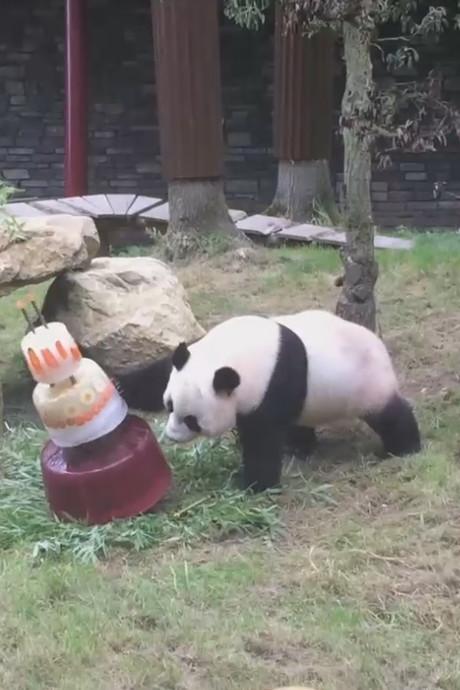 Panda's Ouwehands krijgen taart voor verjaardag