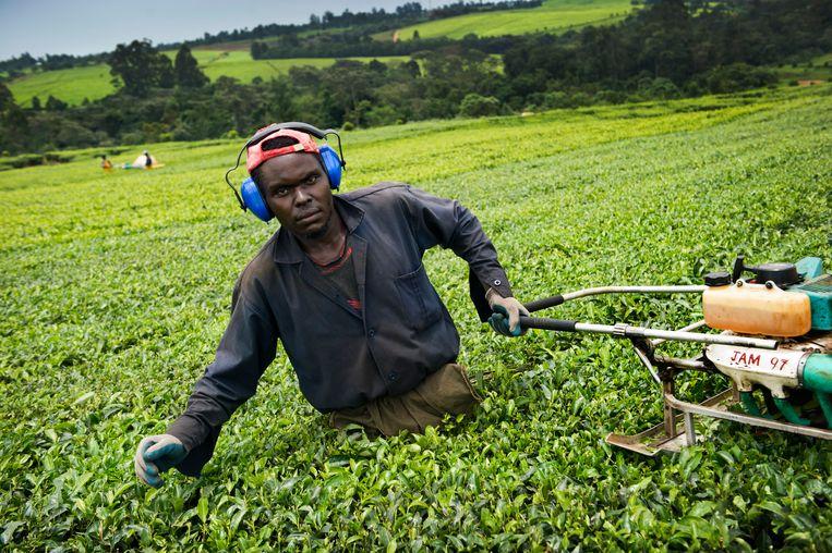 Thee wordt in Kenia steeds vaker machinaal geoogst. Beeld  Sven Torfinn