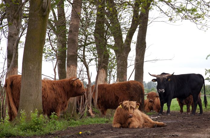 De Schotse hooglanders en andere dieren die rondlopen in de uiterwaarden van Keent. Ze krijgen gezelschap van dieren die in  Gelderland moeten wijken voor hoogwater.