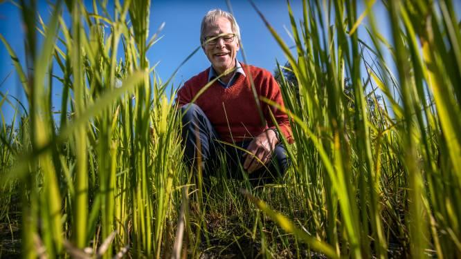 Rijstteelt in Friesland: 'De winst is dat het kán'
