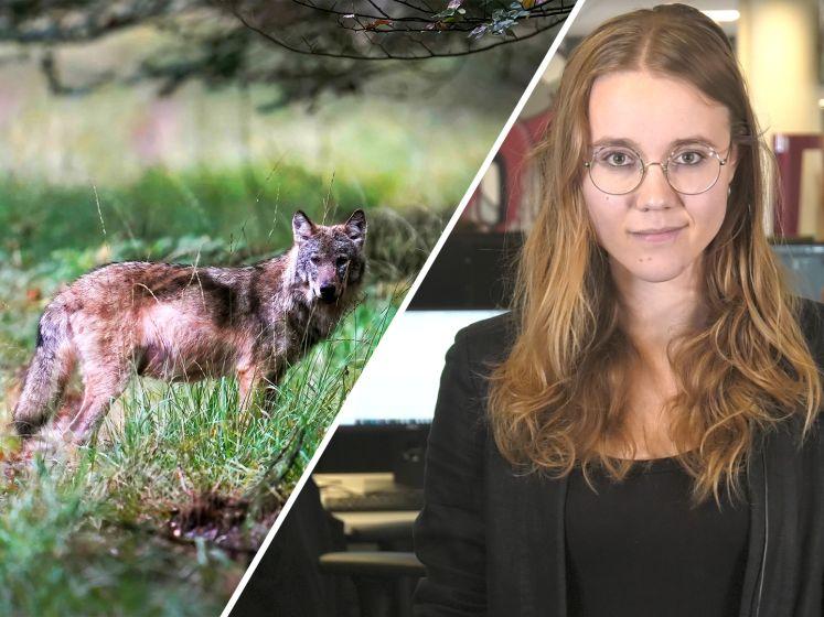 De Stentor Nieuws Update | Een tovenaar verliest zijn baan en waarom hebben we zo'n hekel aan de wolf?