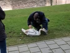 Jonge zwaan overlijdt na aanrijding op Nassauweg in Dordrecht