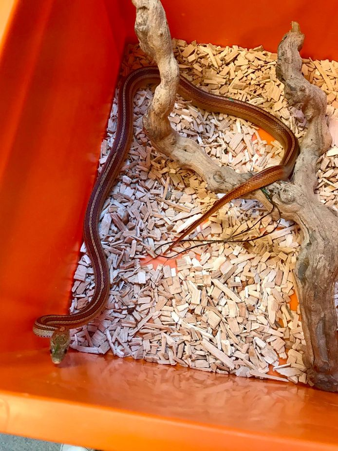 De korenslang die gevonden werd in de kelder van een woning in de Ellestraat in Zwevegem.