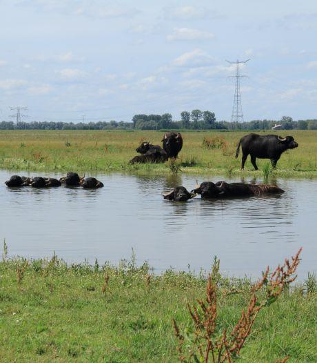 Deze zomer waterbuffels in Saeftinghe