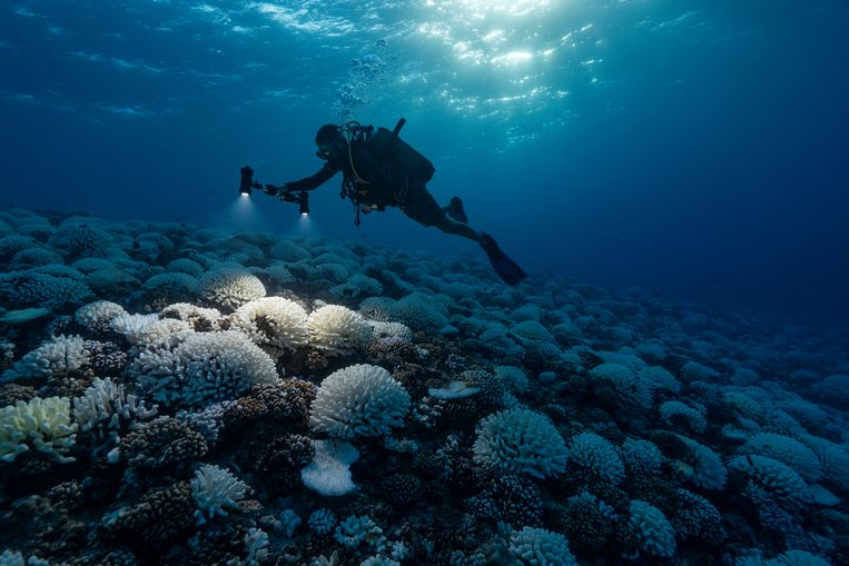 Verblekend koraal bij de Genootschapseilanden in de Stille Oceaan. De verkleuring is een gevolg van de stijgende temperatuur  van het zeewater,  die weer een gevolg is van de opwarming van de aarde. Beeld Getty Images
