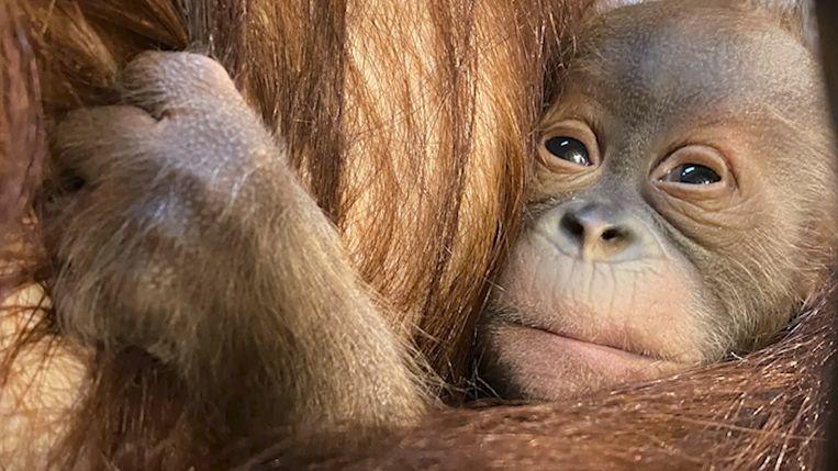 Pairi Daiza verwelkomt nieuwe baby orang-oetan. Beeld Pairi Daiza
