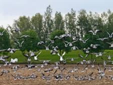 Voor derde keer in korte tijd dode ganzen in Angerlo gedumpt