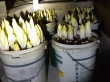 Opmerkelijke vondst van politie: geen hennepplantage, maar kleine witlofkwekerij