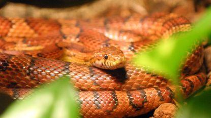Ontsnapte slang gespot in Leuvense winkelstraat