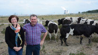 Deze koeien raken noorden nooit meer kwijt