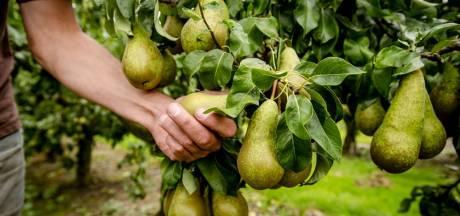 Provincies vinden 'vraatschade' aan perenboomgaarden ondernemersrisico voor fruittelers