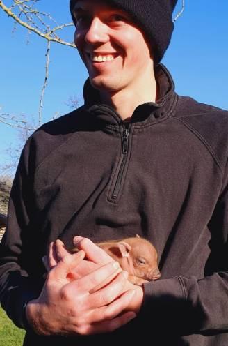 Onweerstaanbaar schattig: David (24) kweekt minivarkentjes en heeft er net een nieuw nest bij