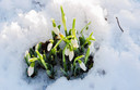 Sneeuwklokjes kwamen bloeiend onder de sneeuw vandaan.