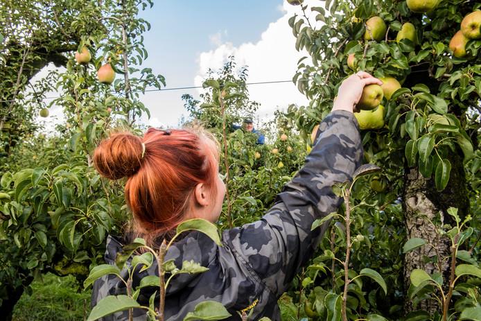 20170912 - Fijnaart - Foto: Tonny Presser/Pix4Profs - Westende fruitteelt - peren oogst