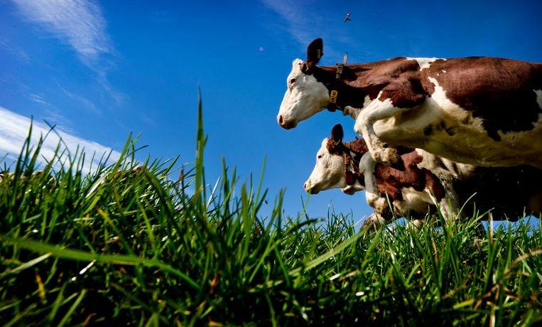Koeien van een biologische veehouder gaan de wei in. Beeld ANP