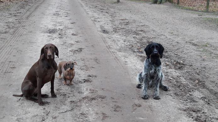 Viene (links) en Jules (rechts, Duitse Staanders) kregen gistermiddag tijdens het uitlaten in Vorden punaises binnen die verstopt zaten in stukjes gehakt. De ruwharige Teckel Pebbles (midden) kreeg gelukkig geen vlees te pakken.