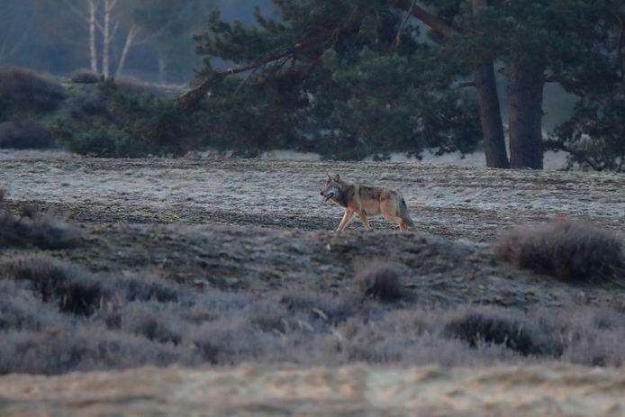 Gerbrand Mulder stond vrijdagochtend ineens oog in oog met een wolf op het Wekeromse Zand