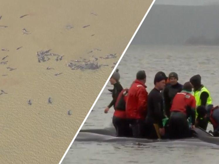 Grote reddingsoperatie voor 270 gestrande walvissen