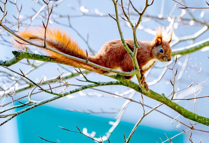 Bilthoven reageert ontzet op het nieuws dat een nest met vier jonge eekhoorns de dood is ingejaagd door 'roekeloze' bomenkap in opdracht van de gemeente.