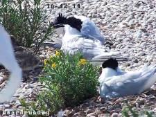 Vogels gluren vanuit je luie stoel. Het kan dankzij webcam op broedeilandje in Waterdunen