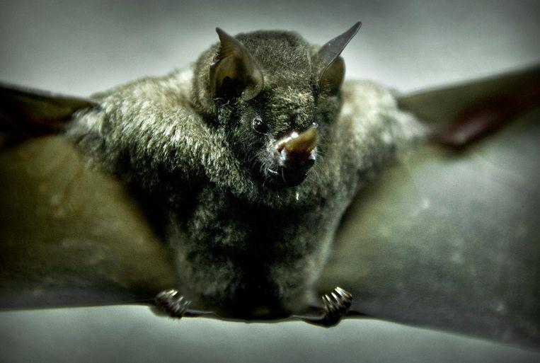 Kom vleermuizen spotten tijden de internationale nacht van de vleermuis Beeld anp