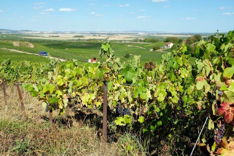 De glooiende champagnestreek. De 16.000 wijnboeren mogen er niet meer dan 8.000 kilo per hectare oogsten. Beeld Remon Haazen