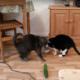 Katten schrikken écht van komkommers en dat is helemaal niet leuk