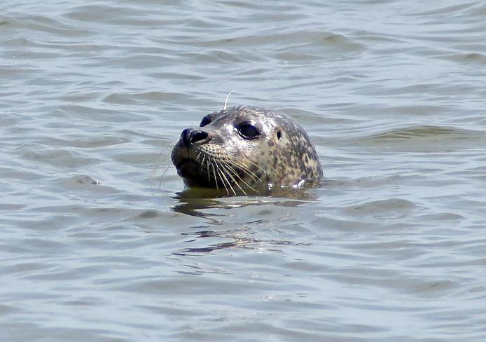 Mensen zagen vanaf de boot in Piershil een zeehond in het Spui zwemmen.