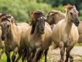 Grote grazers Oostvaardersplassen zonder vergunning doodgeschoten