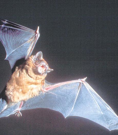 Vleermuizen krijgen meer nesten in Tilburg en Den Bosch