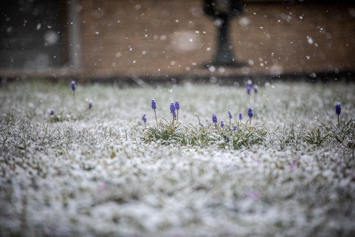 Bloesems in de sneeuw, Lummen.