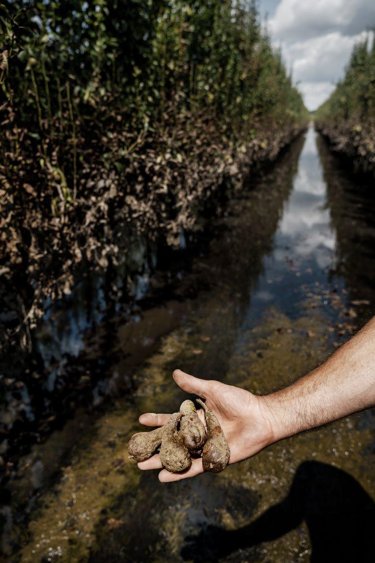 De oogst van fruitteler Kristoff Moonen is verloren. Hij hoopt nu dat de bomen de waterschade overleven, want dat zou een financiële ramp zijn. Beeld © Eric de Mildt