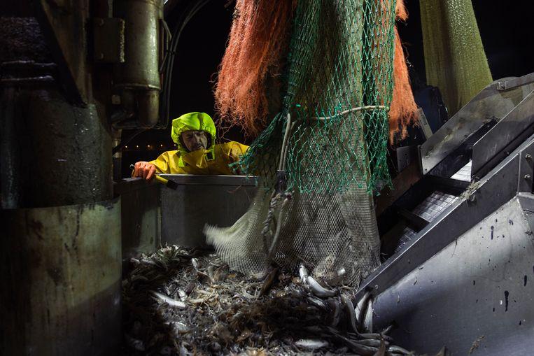 Alain Bogaert tijdens een van de acht keren dat de netten opgehaald worden.Intussen kan hij perfect het aantal kilo inschatten, gewoon op zicht. Beeld ©jef boes @ initials la