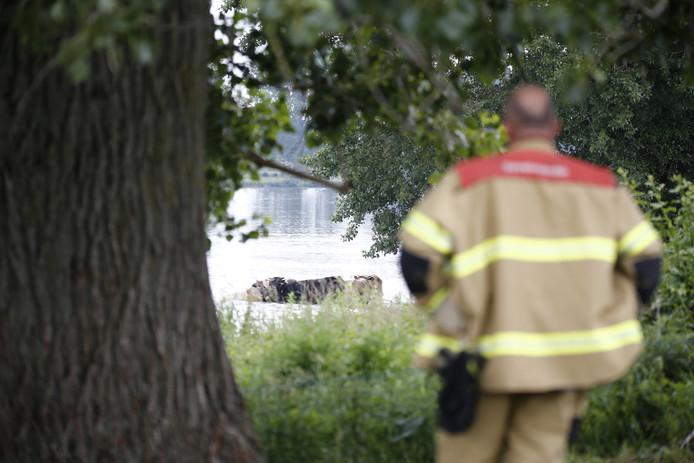 De brandweer bekijkt de stieren in de Maas.