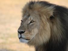 Jericho, lion du Zimbabwe, est bien vivant