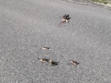 Vier jonge eendjes en moedereend doodgereden in Houten: 'Dit is met opzet gebeurd'