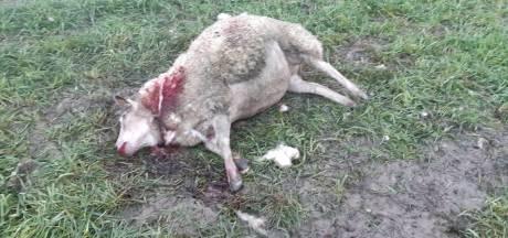 Schapenhouder uit Kruiningen schrikt van doodgebeten schaap: 'Dit is niet het werk van een vos'
