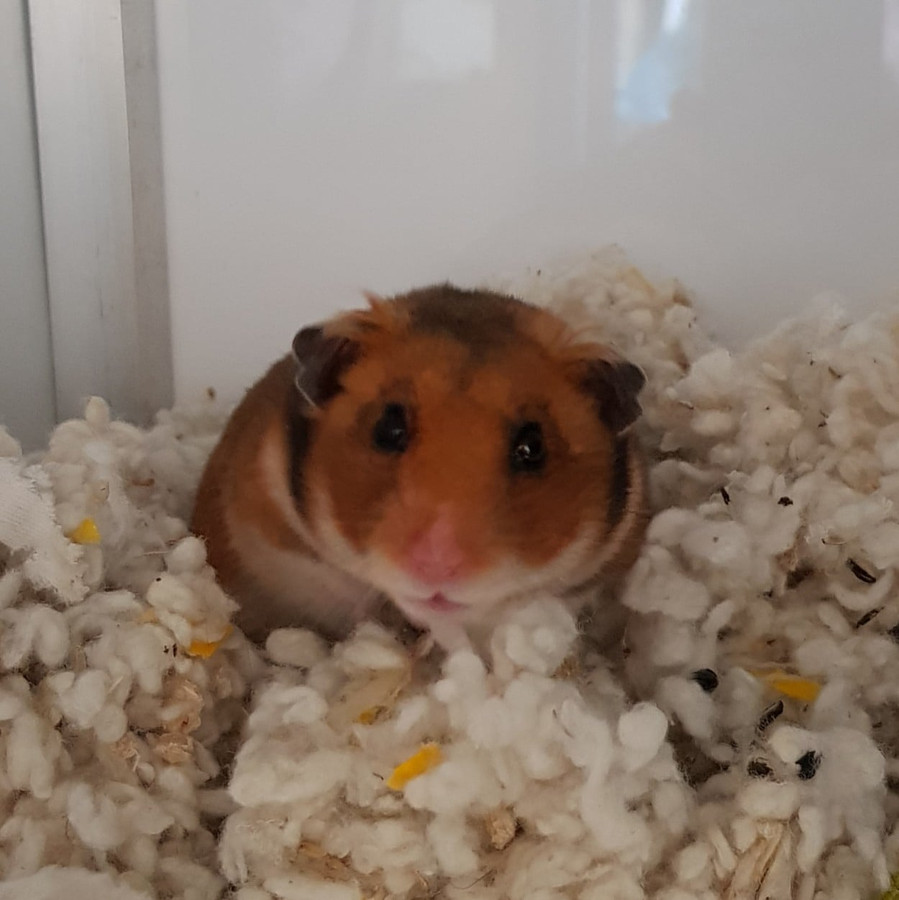 Hamster die gedumpt werd in bushok in Grimbergen
