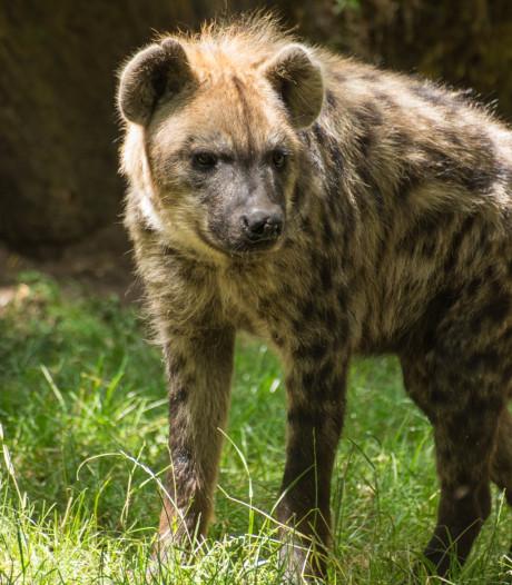 Waarom de hyena geen Facebook nodig heeft