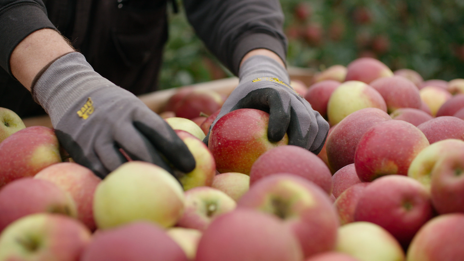 De nieuwe appel valt volgens de producent op door zijn bijzonder goede smaak.